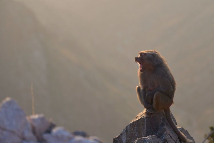 Monkey yawning while sitting on rock outdoors