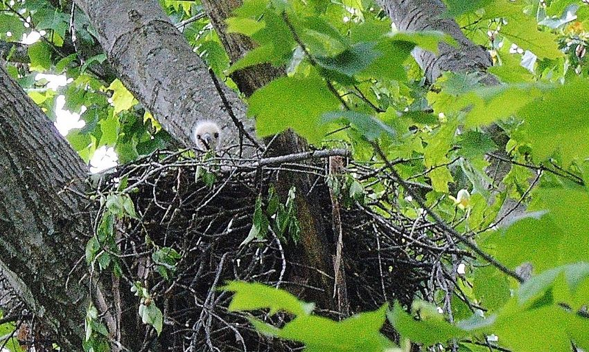 Red tailed hawk baby looks out over nest for first time Baby Hawk Baby's First View Birds Nest Growth Hawk Newborn Hawk's First View Hello World Landscape Nature New Life No People Tree Young Bird