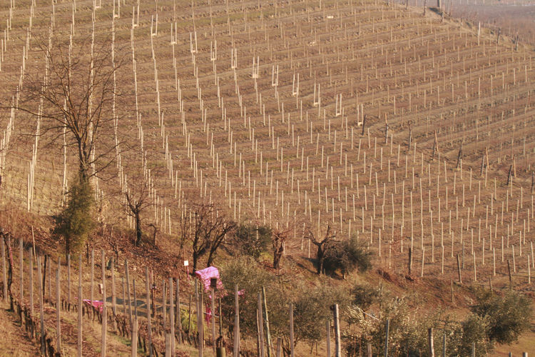 Agriculture Bench Benchseat Brown Day Langhe Lines Nature No People Olve Tree Outdoors Piemonte Pink Pink Color Rural Scene Tree Vineyards  Wineyard Winter Wintertime