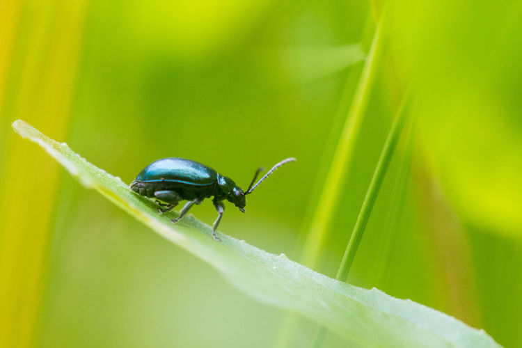 Had a mini garden minibeast hunt for day 4 of #30DaysWild. Found what I think is a blue mint leaf beetle. 30dayswild Beetle Close-up Insect Invertebrate Nature Outdoors Wildlife