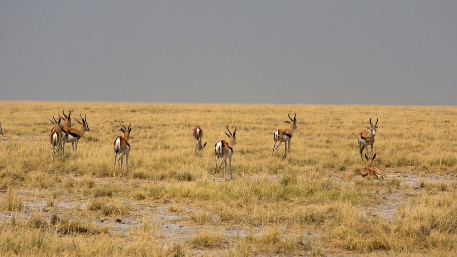 Springboks on field against sky at etosha national park
