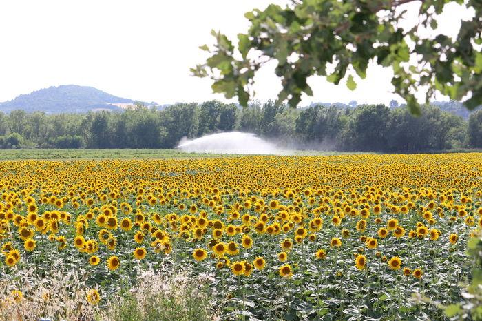 Agriculture Nature Rural Scene Cultures Champs Tournesols Fleurs