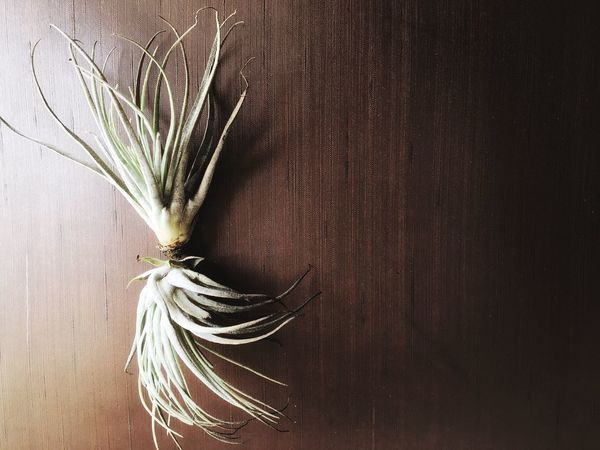 Textures And Surfaces StillLifePhotography Indoors  Day Wood - Material Close-up No People Indoors  Tillandsia Stricta Tillandsia Interior Inspiration Interesting Perspectives Eyeemphoto The Week On EyeEm