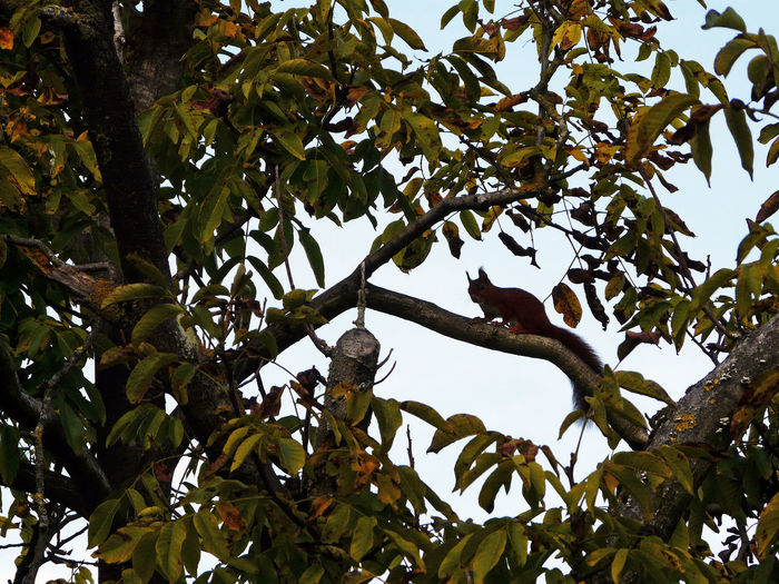 Full Lenght Squirrel Squirrel Squirrel On Tree Sciurus Vulgaris Squirrel On Branch One Animal Squirrel Full Lenght Tall Ears Ears Up Ears - Ears Full Lenght Outdoors Animal And Nature Perching Rodent Oreilles En L Air Orejas En El Aire Orrecchie Nell Aria Sciurus Full Length