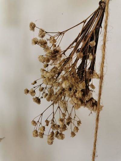 Close-up of dry plant against white background