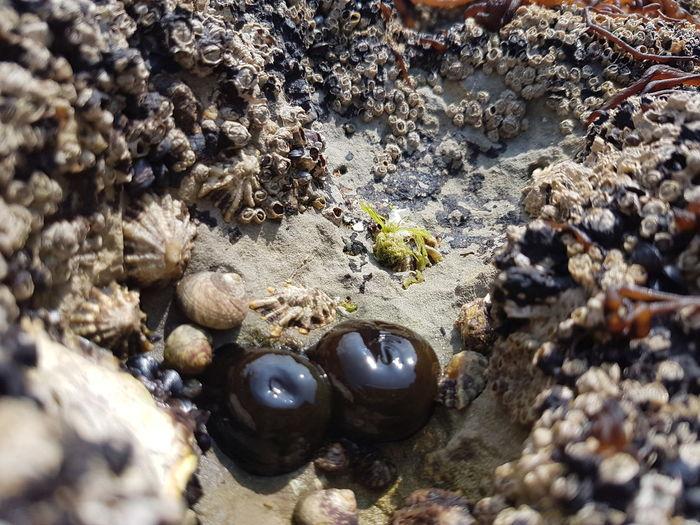 Tomate de mar Sea Tomato