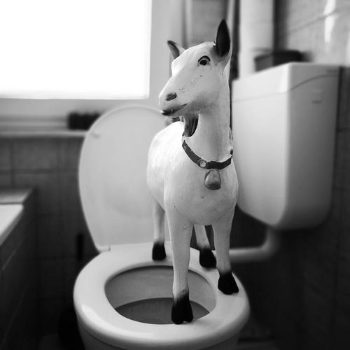 Goat Animal Themes No People Protruding Day Toilet Bowl Close-up pee training Indoors  Goat Life