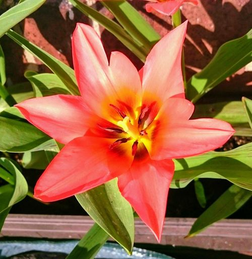 Lily... Flower