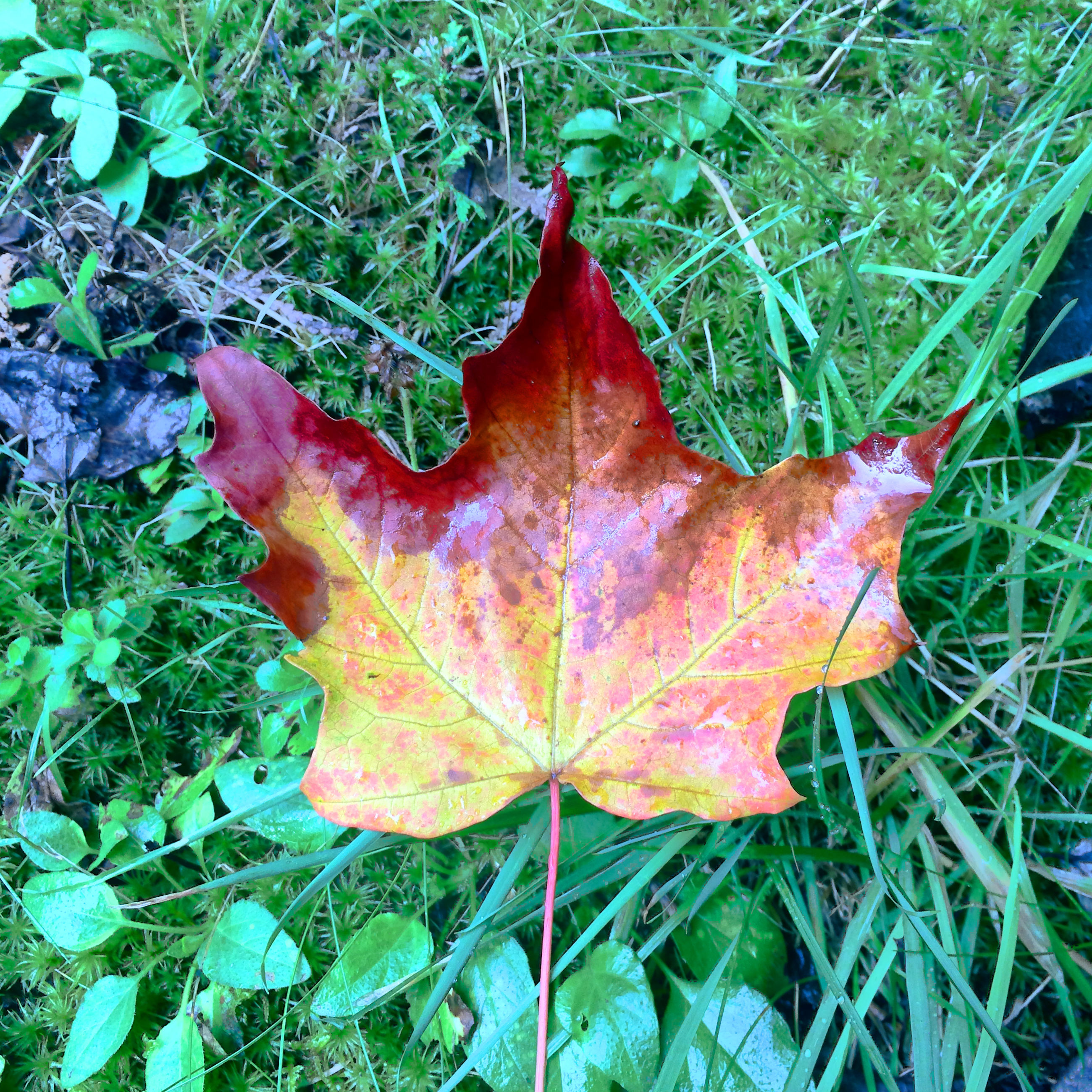 leaf, autumn, change, season, dry, maple leaf, leaf vein, leaves, grass, nature, close-up, fallen, high angle view, natural pattern, field, growth, fragility, natural condition, beauty in nature, orange color