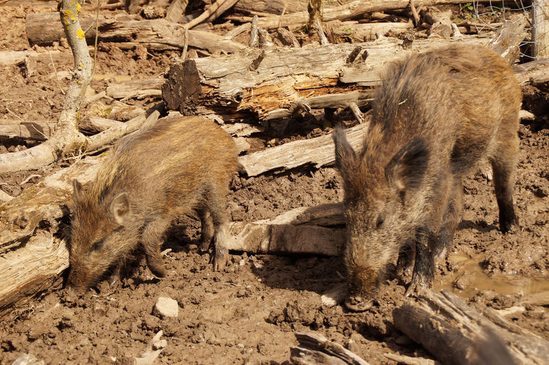 High angle view of wild pigs on muddy field