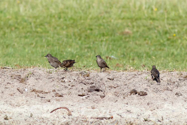 Stare Stare Gemeiner Star Common Starling Sturnus Vulgaris Starlings Sturnus European Starling Sturninae Singvogel Sturnidae Passeri Sperlingsvögel Bird Birds Bird Photography Passeriformes Aves Passerine Birds