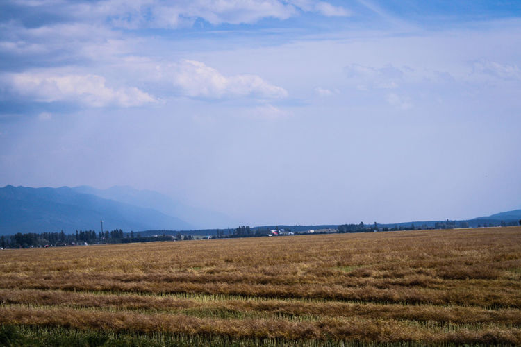 Field with gold colored crops