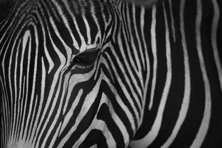 Animal Animal Markings Animal Themes Animal Wildlife Animals In The Wild Black And White Grevy's Zebra HEAD Headshot Imperial Zebra Mammal Mono Monochrome Nature Nature No People One Animal Outdoors Safari Animals Shadow Shadows Striped Wildlife Zebra Zebra