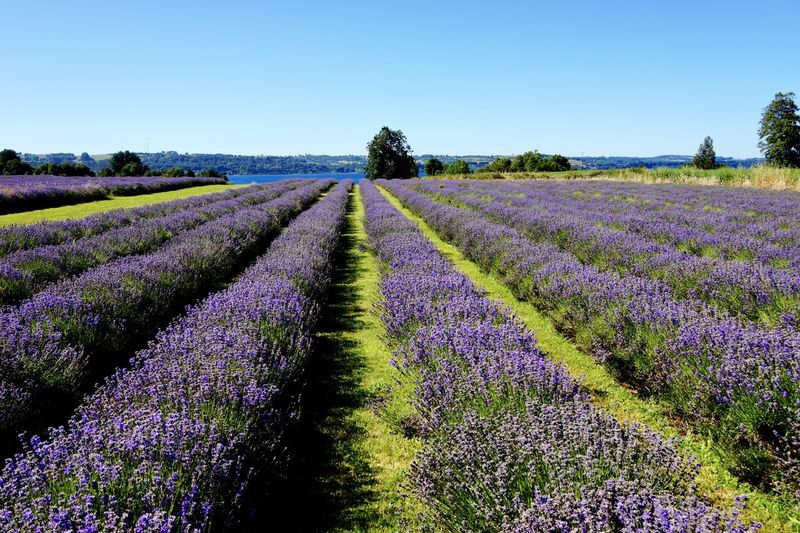 Agriculture Beauty In Nature Blossom Blue Clear Sky Day Field Flower Flower Head Freshness Growth Landscape Lavender Lavender Colored Nature No People Outdoors Plant Purple Rural Scene Scenics Sky Springtime Tranquil Scene Tree