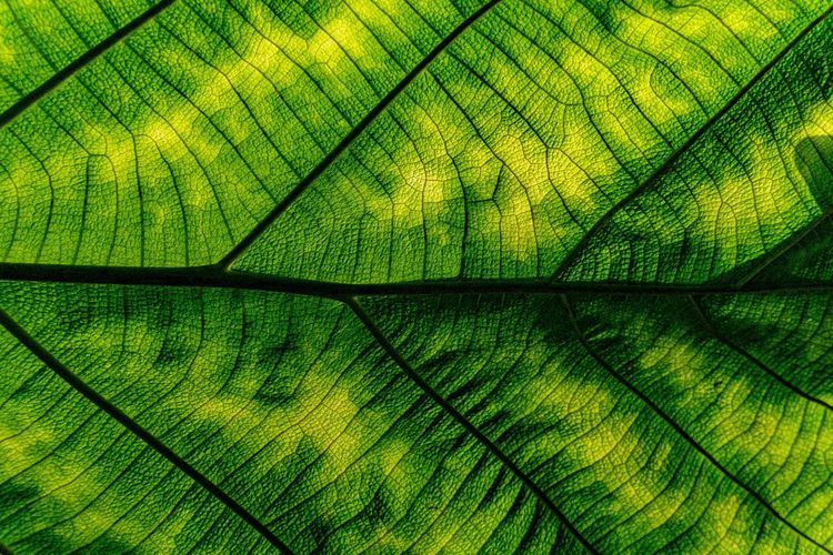 Macro shot. Closeup texture green leaf in nature. Backgrounds Full Frame Pattern Green Color Textured  Close-up No People Natural Pattern Nature Leaf Leaf Vein Day Plant Part Plant Beauty In Nature Vulnerability  Fragility Outdoors Growth Abstract Abstract Backgrounds Textured Effect Leaved Tree Trunk Green Tree The Minimalist - 2019 EyeEm Awards