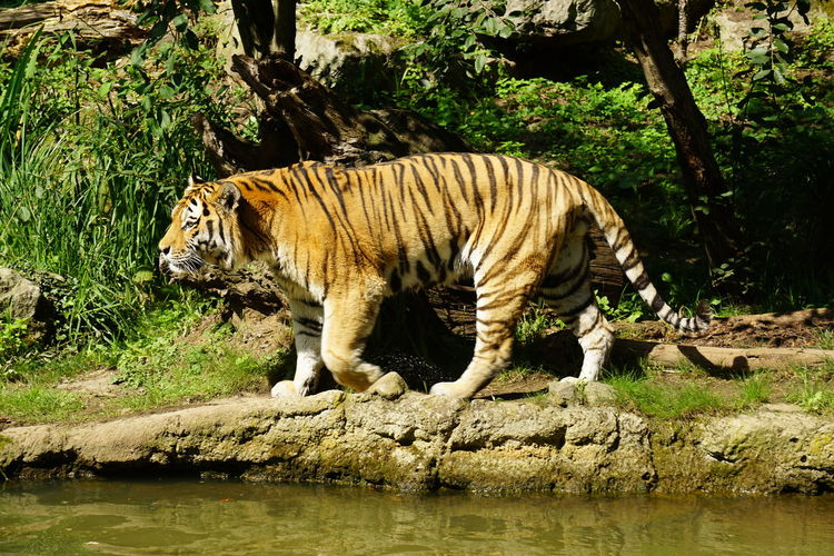 Zoo Leipzig Animal Themes Animal Wildlife Animals In The Wild Day Endangered Species Full Length Mammal Nature No People One Animal Outdoors Tiger Tree Water White Tiger Zoo