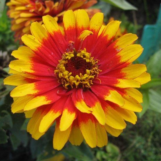 #flower #flowers #nature #amazing #instaflowers #цветы #цветок #2013 Flowers Nature Flower Amazing Zinnia  2013 Instaflowers цветок  цветы цинния