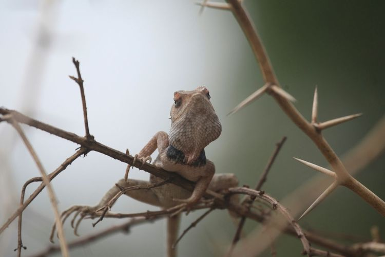 Calotes versicolor Calotes_versicolor Calotes Lizard Changeable Lizard Animal_collection Reptiles
