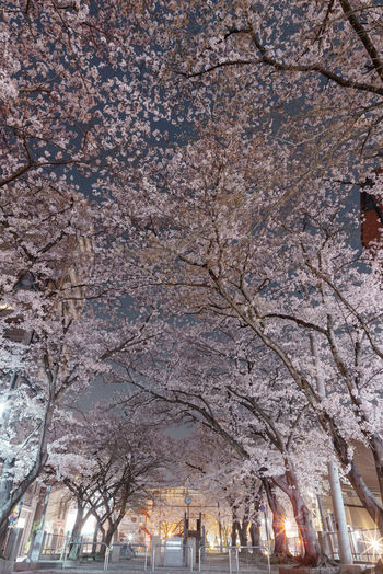 Low angle view of cherry blossom tree in city
