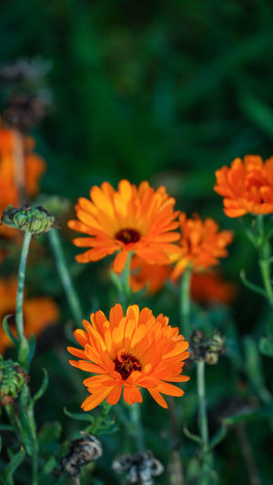Beauty In Nature Blooming Close-up Day Flower Flower Head Fragility Freshness Growth Leaf Marigold Nature No People Orange Color Outdoors Petal Plant Zinnia