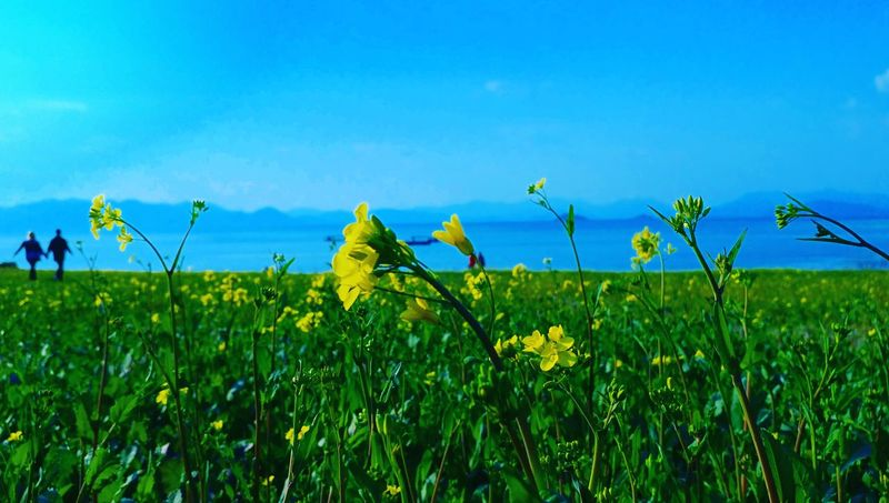 Blue Field Growth Flower Plant Nature Beauty In Nature Yellow Day Sky Lovers Bridge Lover Agriculture Rural Scene Crop  Farm Green Color Landscape Cereal Plant flower and lover