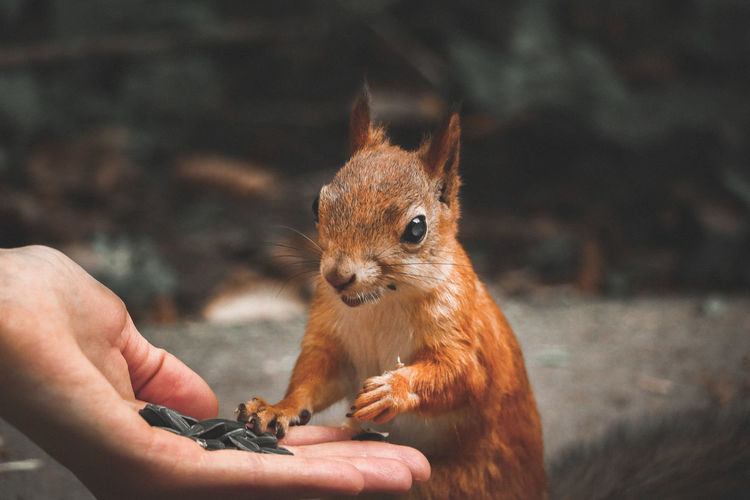 Cropped hand feeding seeds to squirrel