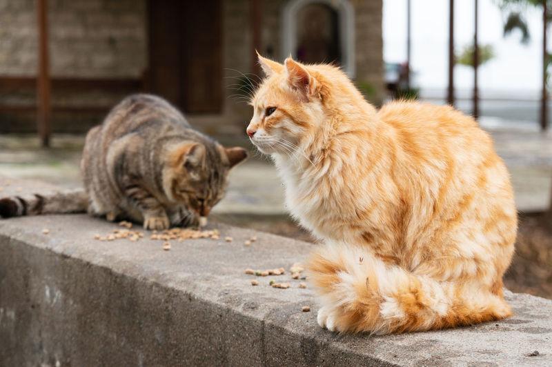 Cyprus Cats Cat