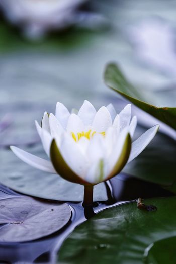 Flower Flowering Plant Plant Petal Fragility Vulnerability  Freshness Beauty In Nature Flower Head Close-up Water Lily Plant Part No People Leaf Growth Inflorescence Nature White Color Water Pollen