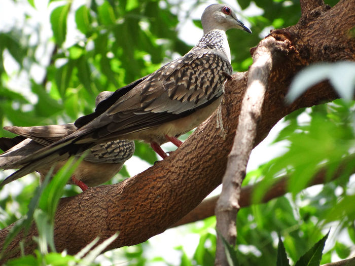 THE BIRDS ON THE TREE Pigeons Branches Of Trees Nature Lush - Description Lush Foliage Birds On The Tree Tree Perching Branch Bird Close-up Bird Of Prey Tree Trunk Woods