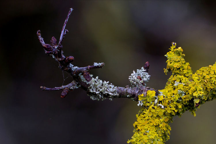 Lichen beauty Lichen Beauty In Nature Branch Close-up Day Fragility Freshness Growth Lichen Beauty Lichen In Macro Lichen On A Tree Nature No People Outdoors Plant Yellow Color