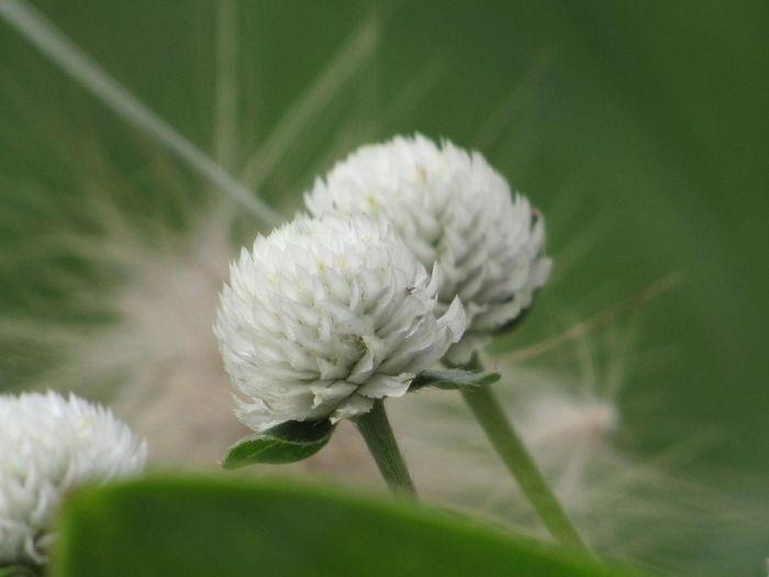 Alliums, white