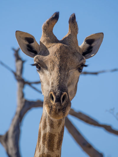 Close-up portrait of giraffe against clear sky