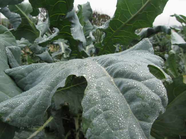 Raindrops on cauliflower leaves . The cauliflower plants are growing in the field . Tuscany, Italy Agriculture Antioxidant Brassica Oleracea Brassicaceae Broccoli Cabbage Calcium Cauliflower Cruciferous Diet Drop Field Food Garden Leaf Nutrition Organic Phytochemicals Plant Raw Vegan Food Vegetable Vegetarian Food Vitamin Wet