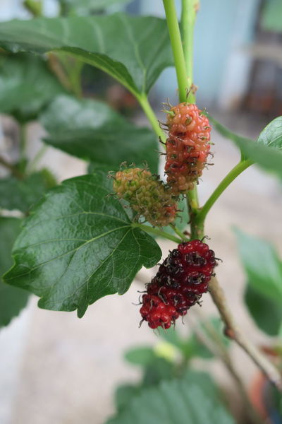 the ripe berries are three levels Beauty In Nature Close-up Day Focus On Foreground Food Freshness Fruit Green Color Growth Healthy Eating Leaf Mulberry Nature No People Outdoors Plant Red