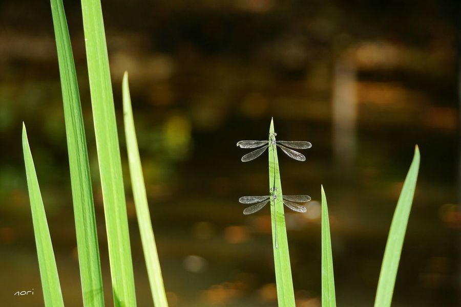 Tandem Dragonfly EyeEm Nature Lover Water_collection Autumn Light And Shadow From My Point Of View Taking Photos ボケ味ふぇち Bokeh Bokeh Love キラキラ Green Leaves EyeEm Best Shots Japan おやすみなさ~い🙋