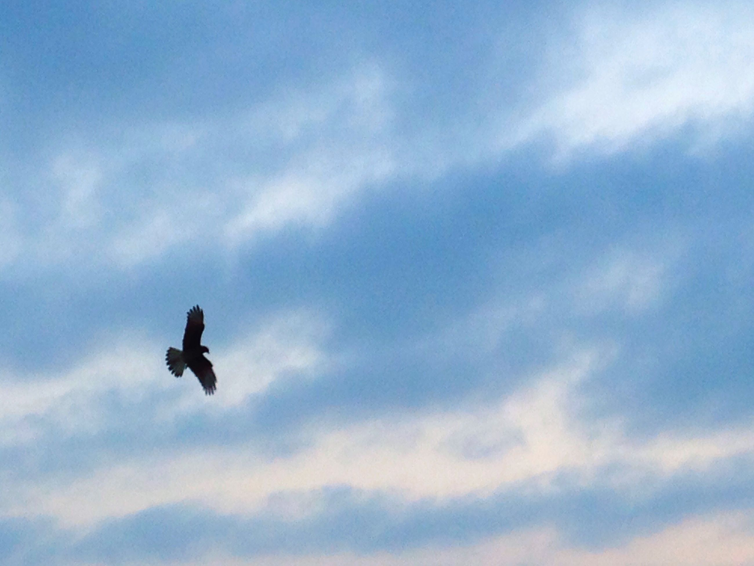 low angle view, animal themes, animals in the wild, bird, flying, wildlife, mid-air, sky, spread wings, one animal, cloud - sky, full length, silhouette, two animals, motion, nature, cloudy, freedom, outdoors, cloud