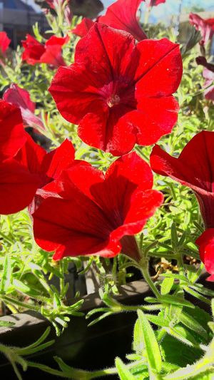 Red Flower Nature Beauty In Nature Freshness No People Flowerpower Herbst🍁 Herbst 2016 Mega😍❤ Outdoors Sonne Nice Cool Swizzerland Nature Fresh Natur