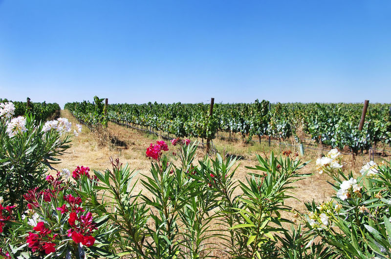 Flowers in portuguese vineyard, Alentejo region Aloendro Vineyard Agriculture Beauty In Nature Clear Sky Field Flower Grass Landscape Nature Plant Rural Scene Scenics Tranquil Scene
