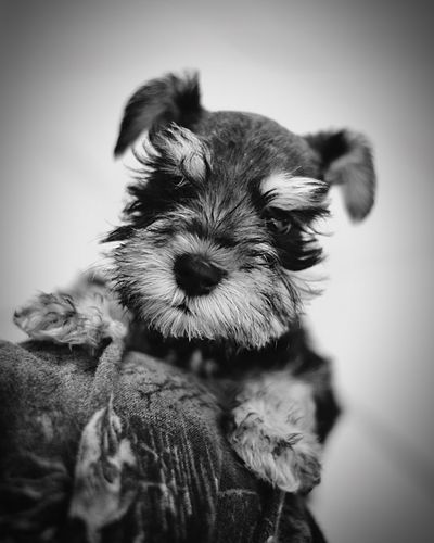 Little Mini Molly Dogs Bandwphotography Pets First Eyeem Photo