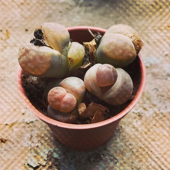 Pues aquí, casual, despertando del letargo ? Lithops Plant Livingstone  Nature African beautiful love pretty blossom sopretty spring flowerporn botanical floral instablooms bloom blooms