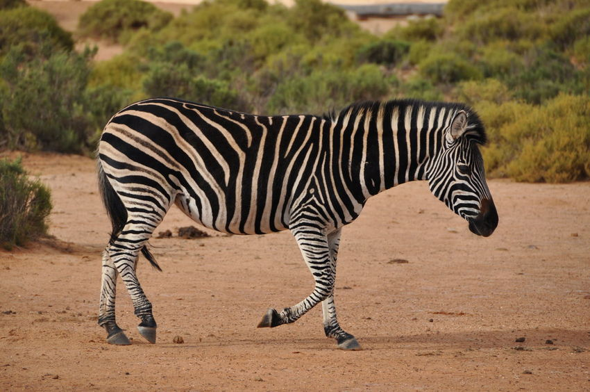 Animal Themes Animals In The Wild Aquila Game Reserve Day Full Length Mammal Nature No People One Animal Outdoors Side View Striped Tree Zebra