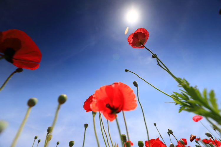 Flower Red Flowering Plant Fragility Plant Vulnerability  Petal Freshness Beauty In Nature Sky Growth Nature Poppy Close-up Inflorescence Flower Head Low Angle View Plant Stem Focus On Foreground No People Outdoors Orange Hello World Tadaa Community