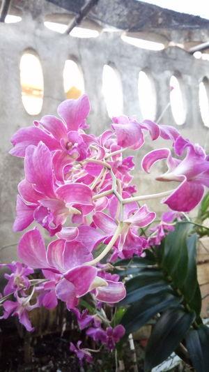 กล้วยไม้ Flower Pink Color Fragility Plant Petal Flower Head Nature ดอกไม้ (Flower) Tree ดอกไม้ไทย ดอกกล้วยไม้ไทย Tree Trunk Tree Canopy
