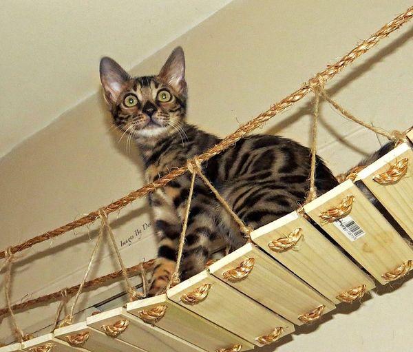 Talya on our homemade bridge~ Green Eyes Greeneyes Cat Cats Bengal Cat Mycat Kitty Cat♡ Animals Creative Power