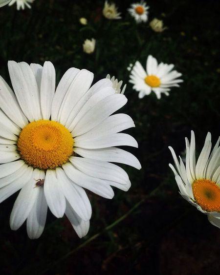 Bomdia Margaridas Flower Flowers Flores Sextafeira Nature First Eyeem Photo