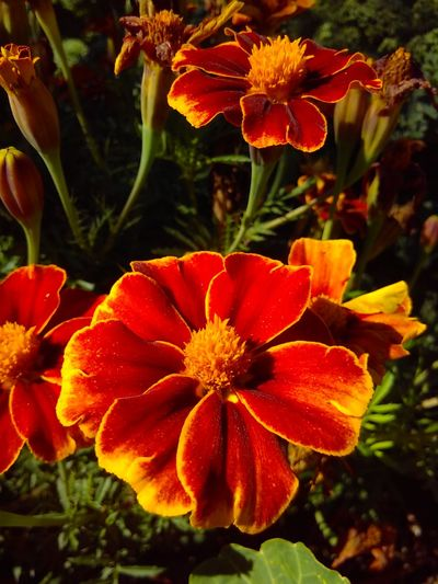Flower Flower Head Plant Petal Beauty In Nature Close-up Growing Blossom Blooming Marigold Flowers Asteraceae Tagetes Beautiful Flower