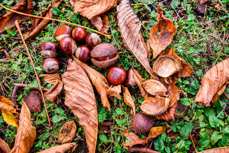 High Angle View Of Chestnuts On Ground