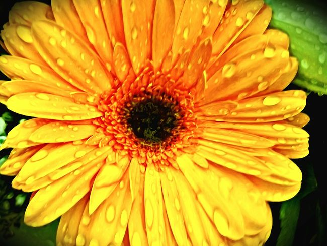 Flower Flower Head Nature Beauty In Nature Close-up No People Outdoors Plant Blooming Day Wet Freshness Gerbera Daisy Blooming Flowers Blooming Flower Close Up Plant Photography Flowers,Plants & Garden Nature Beauty In Nature Gerbera Gerbera Flower Gerberaflower Gerbera, Yellow Flower