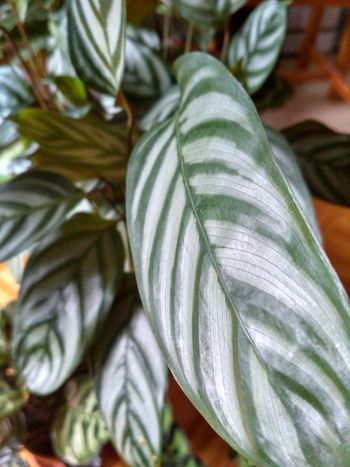 Ctenanthe Setosa green foliage detail, Prayer Plant from marantaceae family houseplant with patterns on leaves, vertical orientation, nobody. Calathea Ctenanthe Ctenanthe Setosa Marantaceae Detail Foliage Houseplant Prayer Plant Close-up Plant Leaf No People Plant Part Nature Green Color Pattern