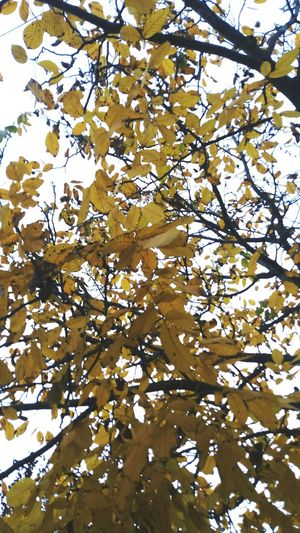 Nature Tree No People Backgrounds Day Autumn🍁🍁🍁 Autumn Yellow Tree And Sky Autumn Colors October2016 Octobercolors Octoberweather October Day Beauty In Nature Autumnbeauty s Octo